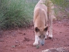 Dingos are almost tame in Karijini